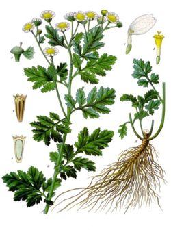 Des vertus des plantes par Macer Floridus, 1832 Grande-camomille